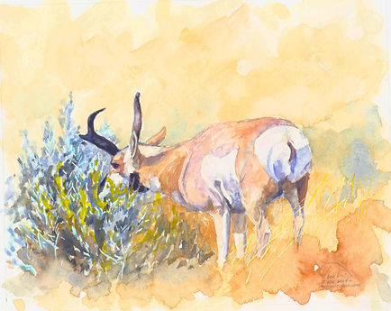 Antelope grazing 7X9 lo res.jpg