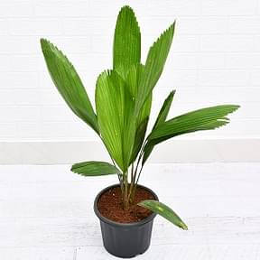 pichodia-grandish-palm