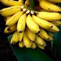 banana-fruit-plant
