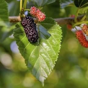shahtoot-mulberry-tuti