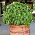 tiger-plant