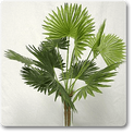 ruffled-latan-palm