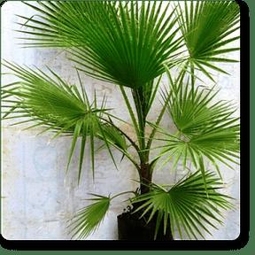 palms-washingtonia
