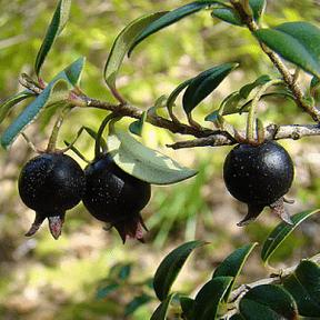 black-guava