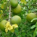Bel-Tree,-Bilva-Patra