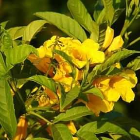Tecoma-seeds