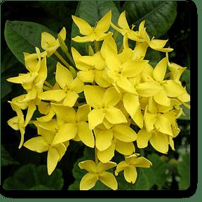 yellow-ixora