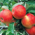 apple-grafted-plant
