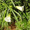 thevetia-nerifolia-white