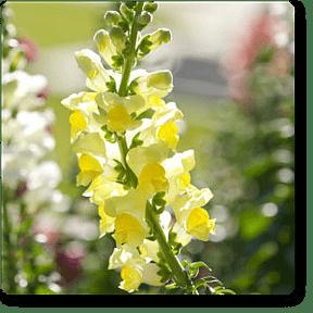 snapdragon-yellow