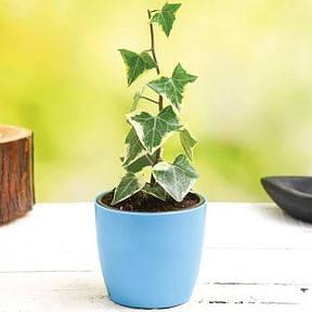 variegated-english-ivy