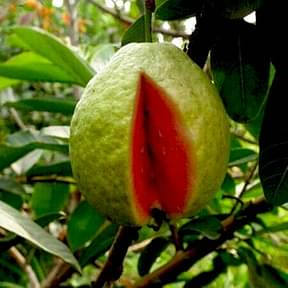 red-guava-tree