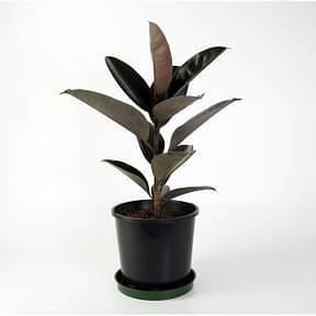 Ficus-Elastica-Decora-Rubra