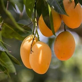 mango-desi-tree