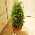 cypress-green