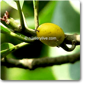 khirni-plant
