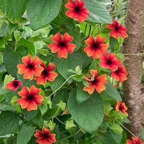 thunbergia-any-color-plant