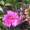 ticoma-plant