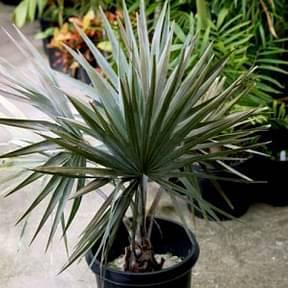 bismarckia-palm