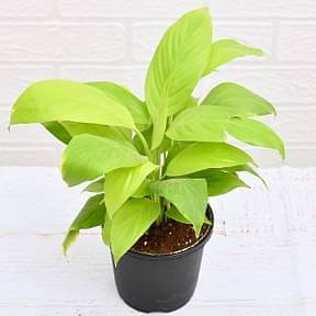 peace-lily-spathiphyllum-golden