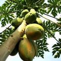 papaya-plant