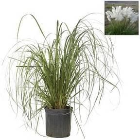 pampas-grass-cortaderia