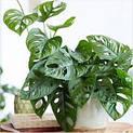 monstera-obliqua-plant_300x3