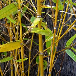 golden-bamboo