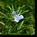 rosemarry-plant