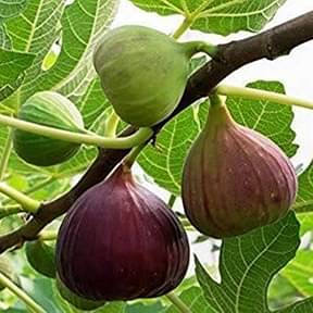 anjeer-common-fig