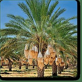 date-palm