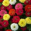 zinnia-any-color-plant
