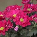 Shevanti-Chrysanthemum-Sheva