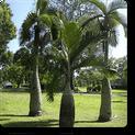 royal-palm
