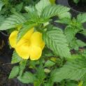 turenia-plant