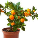 orange-fruit-santra