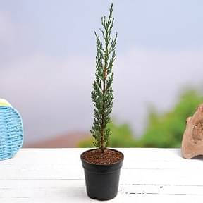 pencil-pine-cypress