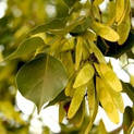 shesam-tree