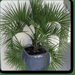 pindo-palm