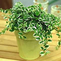 ficus-repens-variegated
