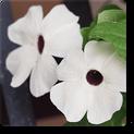 thunbergia-white