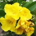 tecoma-shurb-any-color-plant