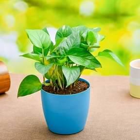 money-plant-green