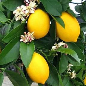 nimboo-lemon-kagzi