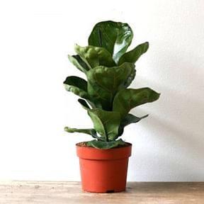 Ficus-Lyrata-Bambino