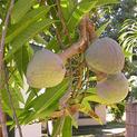 anona-fruit