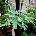 shami-plant