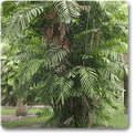 cluster-palm
