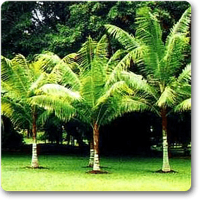 red-neck-palm
