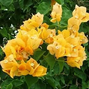 bougaincellia-yellow